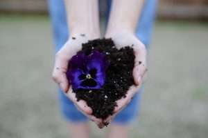Two hands cradled together in a heart shape holding potting soil with a vibrant purple flower resting to the side.